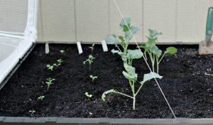 Vegepod Planted